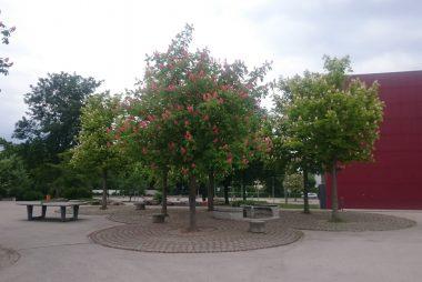 Herrlich blühen die Kastanienbäume auf dem Pausenhof.